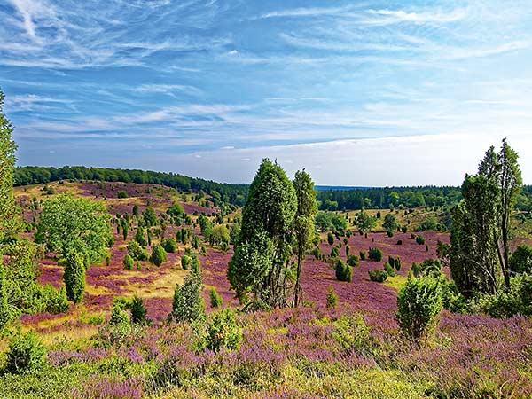 Lüneburger Heide zur Blütezeit mit Celle Image